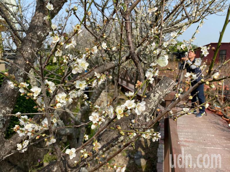 位在彰化縣芬園鄉花卉生產遊憩園區的平地梅花梅花盛開,蜂蝶群飛,美不勝收。記者劉明岩/攝影