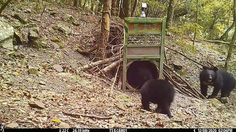 玉管處去年9月玉山塔塔加地區設自動攝影機,同年12月8日拍到1大2小的黑熊母子檔。圖/玉管處提供