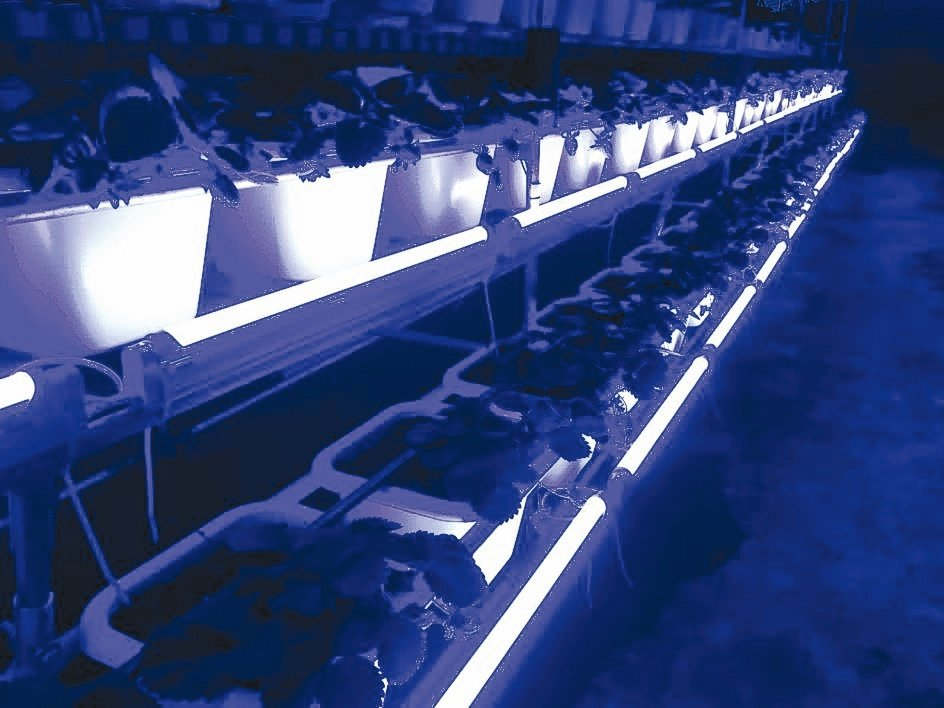 億光草莓專用轉色燈讓香水草莓果實鮮紅,轉紅比率增加30%。億光/提供