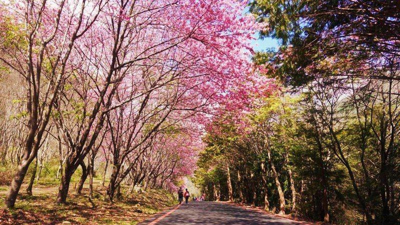 ▲中部過年走春景點-台中武陵農場櫻花季。(圖/Tripbaa趣吧!自由行專家)