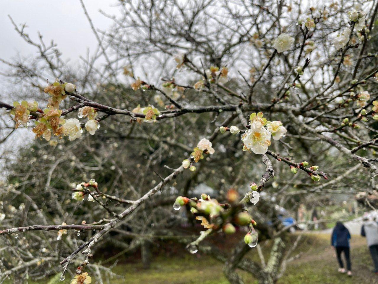 高雄六龜區寶來的梅花到1月底平均盛開約5成,圖為「三叉工坊」景色。 圖/林伯驊 ...