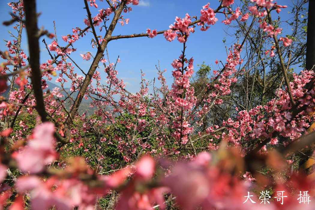 22.梅花旁也可見櫻花盛開
