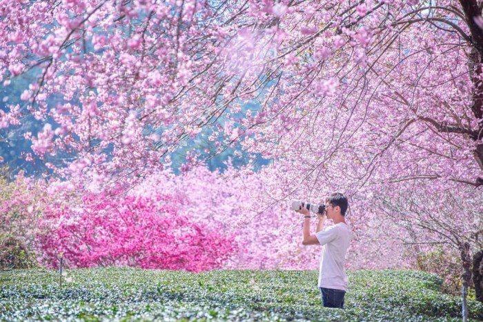 武陵農場櫻花季。 圖/IG, tw.lian_yu