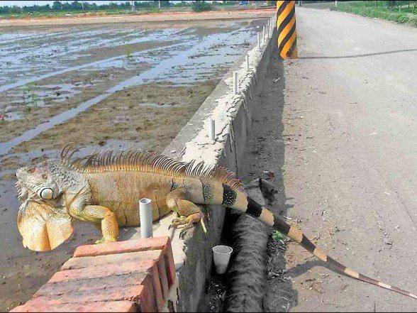 去年9月彰化二林地區農民前往農地,驚見綠鬣蜥在「巡田水」。記者林敬家/翻攝