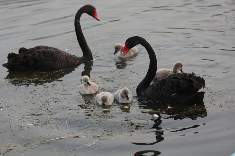 圖為北京圓明園2019年底新生五隻小黑天鵝。中新社