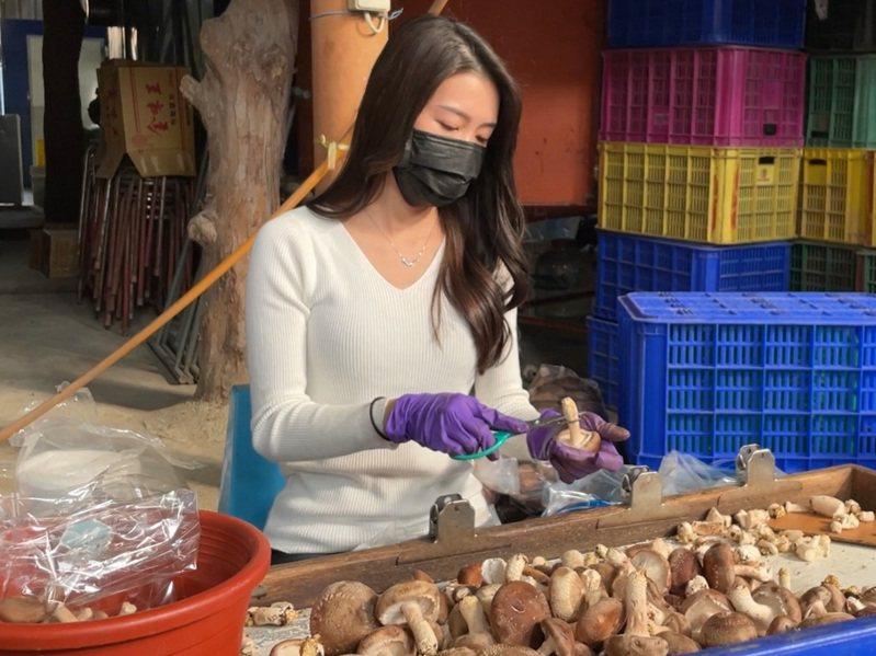 有網友去埔里買香菇,拍下王新雅剪香菇照片,PO網還稱她是「香菇公主」。圖/網友提供