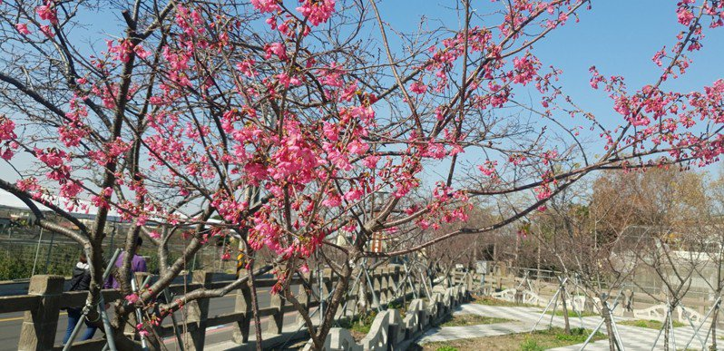 台中泰安櫻花林今天有部分櫻花開花,遊客賞花。記者游振昇/攝影