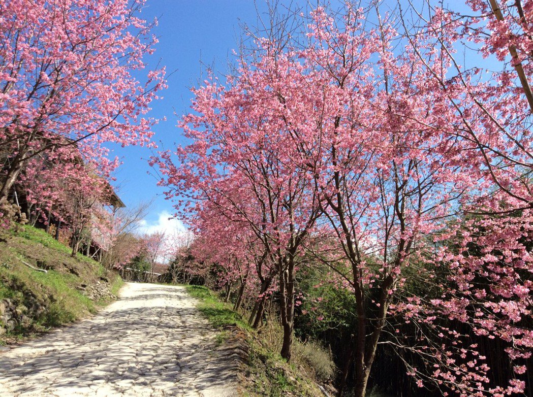 而竹苗地區的山林之中,也有如司馬庫斯、山上人家等景點,野生山櫻花綻放於群山環繞中...