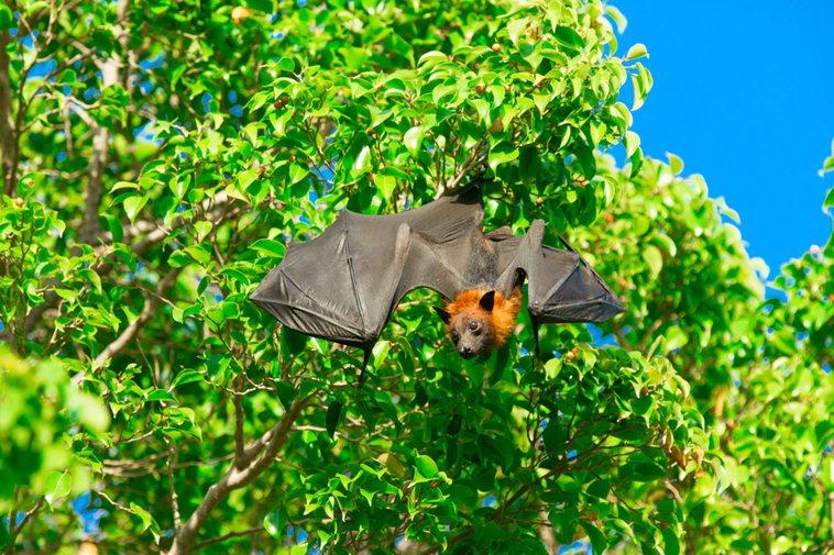 立百病毒致死率高達75%,以蝙蝠作為傳播媒介,目前無藥可醫且無疫苗可施打,恐造成...