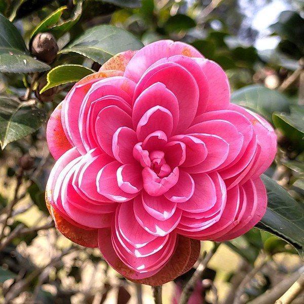 十八學士。所謂「十八」說的是一朵花有十八輪花瓣,重重疊疊花瓣可逾百。 圖/沈正柔...