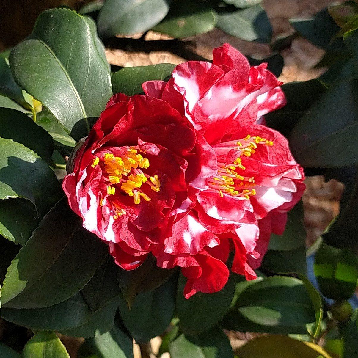 茶花顏色似乎不再侷限於紅、白、粉色。 圖/沈正柔 提供