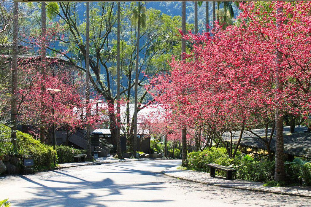 大板根於春節期間正是櫻花盛開之際,讓來大板根的民眾都能感受到濃厚的過年氛圍賞花迎...