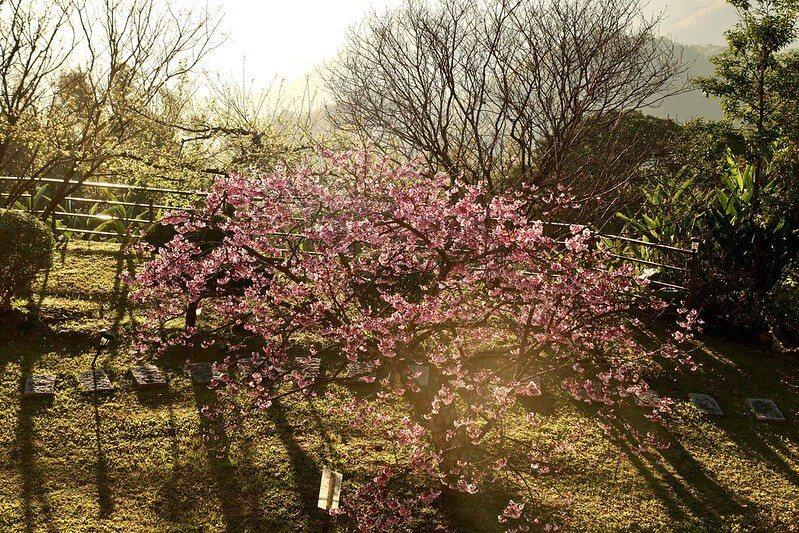 黃昏,樹開滿了花