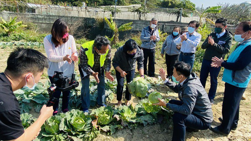 新竹市政府在茄苳社區打造友善菜園,今天開工,副市長沈慧虹採摘社區友善農法生產的高麗菜。圖/市府提供
