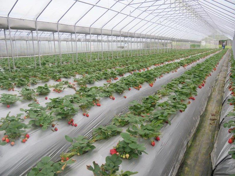 內湖區休閒農場草莓園。  圖/北市產業局提供