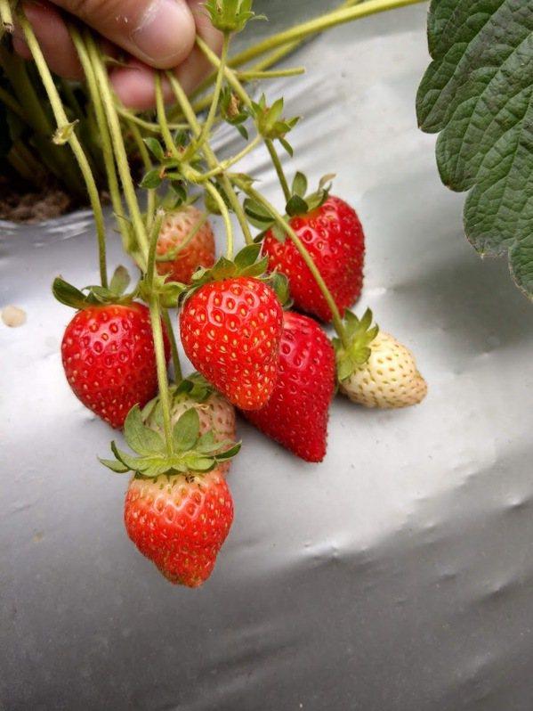 採草莓不用跑去大湖 「內湖農場」草莓、椪柑全都有