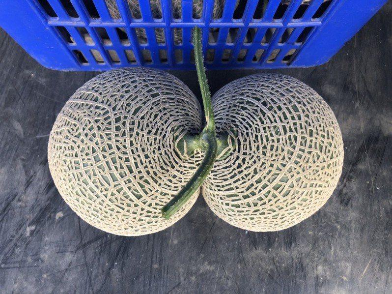 嘉義縣太保市青農葉俊宏栽種「奧費斯」網紋哈密瓜,首次出現1顆畸形,有如「連體嬰、屁屁」形狀的哈密瓜,讓人嘖嘖稱奇。圖/葉俊宏提供
