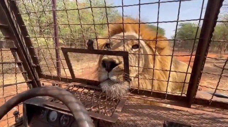 塞內加爾一座野生動物園區提供獨特體驗,遊客可以搭乘專門的「獅籠車」、極近距離觀賞獅子。路透