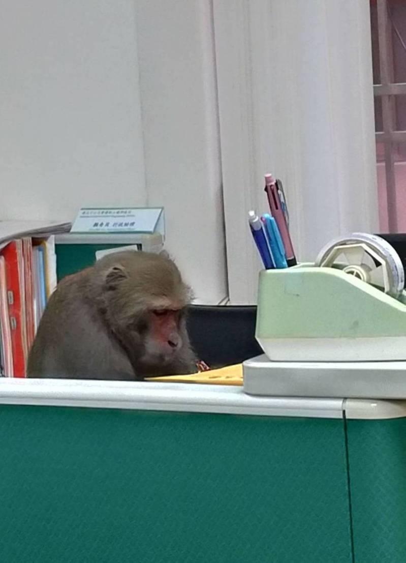 網路群組瘋傳照,形容這隻獼猴是「國立中山大學某辦公室新聘工讀生」。記者徐如宜/翻攝