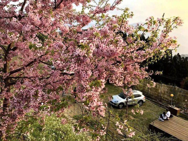 拉拉山櫻花。 圖/kkday