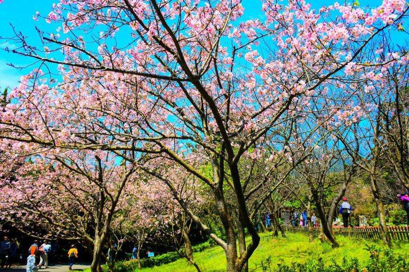 入春後陽明山國家公園櫻花漸漸吐露芬芳。(圖片提供:陽明山國家公園管理處)