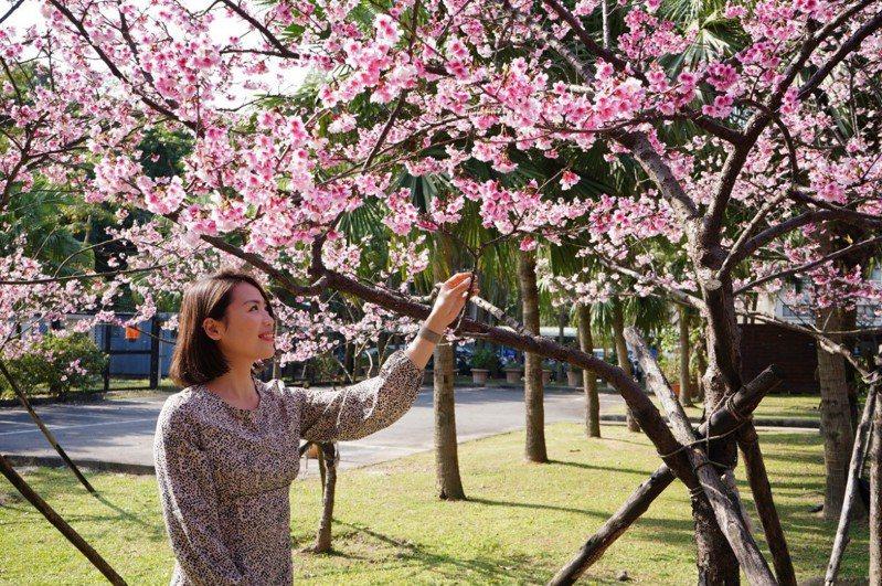 台北自來水園區正逢櫻花盛開。圖/北水處提供