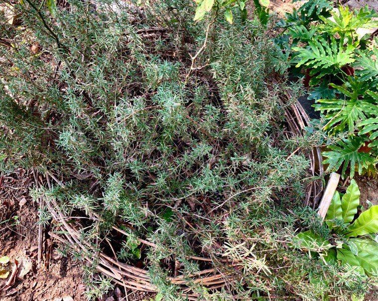 除役的竹餘桶滿載沃土,就地變成迷迭香花圃。 圖/朱慧芳提供