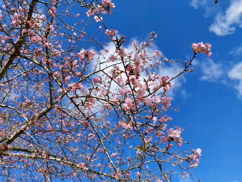 金針花季雖過,花蓮赤科山櫻花逐漸綻放,預計農曆春節後是最佳賞花期。 圖/赤科山櫻之谷提供