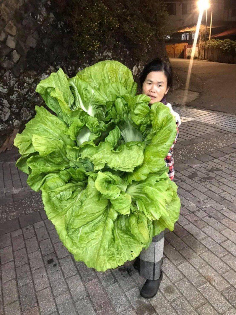 一名女網友分享媽媽種的「超巨型長年菜」。圖/翻攝自爆廢1公社