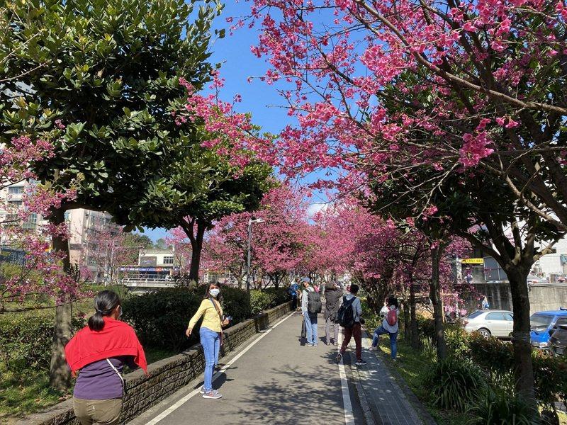 新北市推出線上賞櫻,讓民眾在家中就能與家人一同欣賞美麗花景。圖/新北市景觀處提供