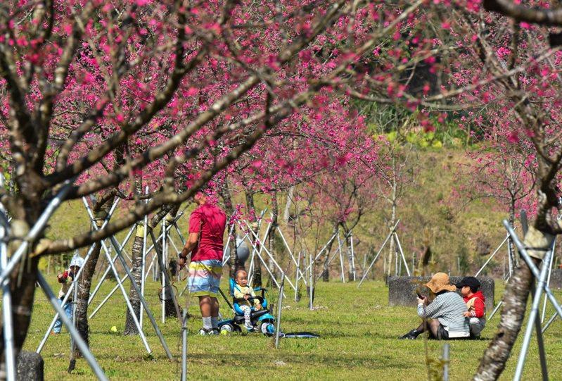 大同鄉崙埤河濱公園種植的櫻花,今年花況空前,成了台七線熱門的賞花景點之一。記者張議晨/攝影