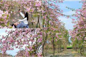宜蘭賞櫻秘境! 1800棵冬山「粉紅枝垂櫻」盛開 垂櫻隧道預計新年最美