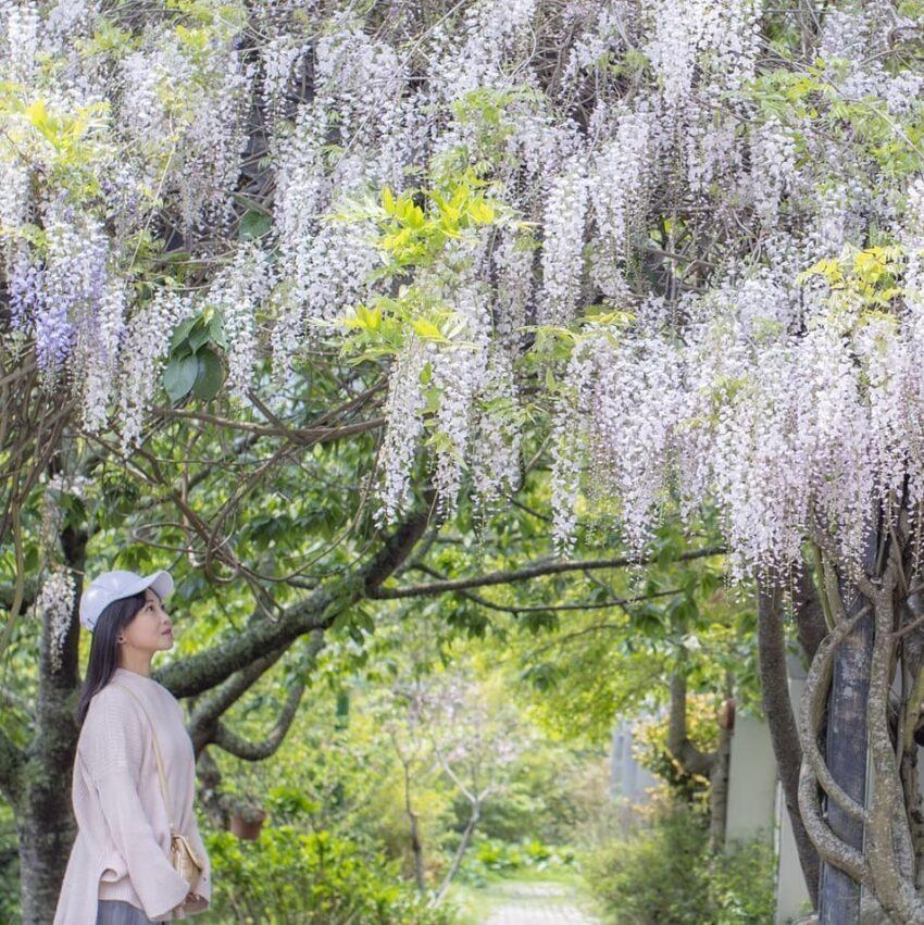 紫藤花花季從三月底到四月初,白藤花花期為4月到5月初  圖/IG @a0935...