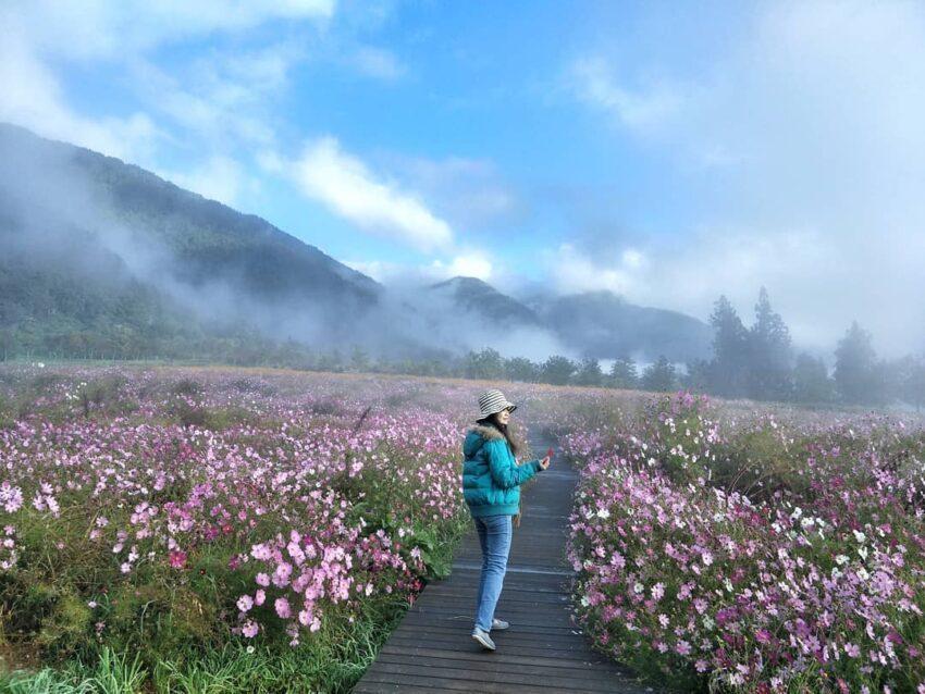 波斯菊在盛開時成片的花海,花形有若櫻花一般,所以又有「秋櫻」的別名 圖/IG @...