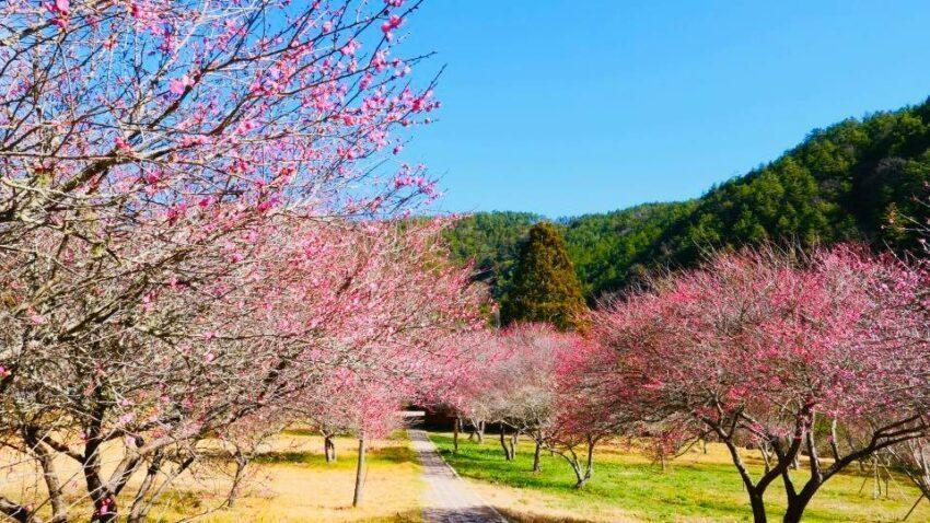 武陵農場的梅花品種包括紅梅、白梅等,花色有紅、白及紅粉3色系 圖/國軍退除役官兵...