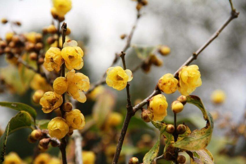 黃色蠟梅,雖然不屬於梅科,但花形、時間都和梅花相近 圖/武陵農場 Wuling ...