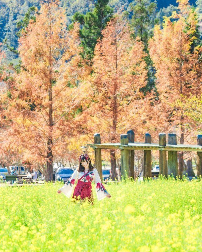 武陵農場露營區前往雪山登山口的路旁,布滿在步道旁廣達1公頃的金黃色油菜花海 圖/...