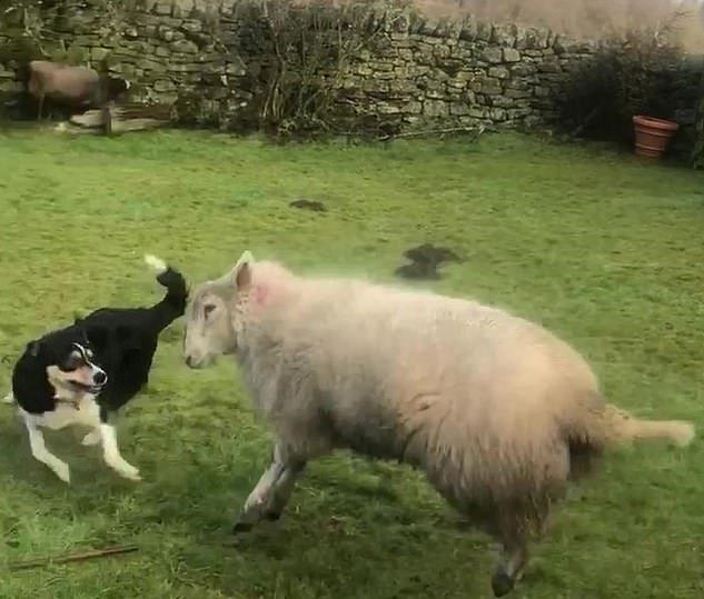 反骨羊天天追逐邊境牧羊犬。圖/取自dailymail