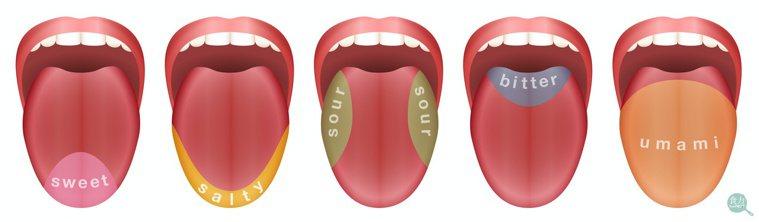 過往學者研究認為大致可以把舌頭的味蕾區域分為如圖的5個部分,但近年研究發現其實並...