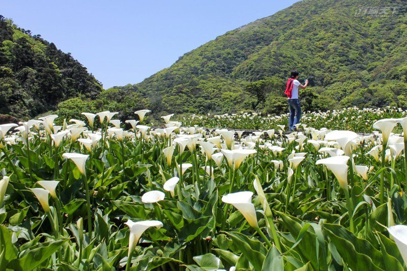 白色海芋襯著山巒疊翠遠山,形成竹子湖最美的美景畫。