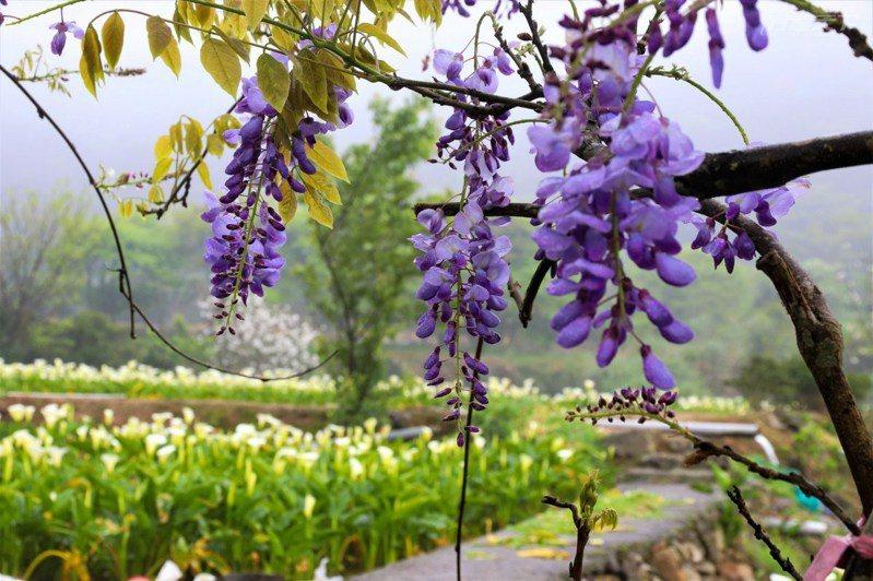 苗榜的紫藤花和海芋交織出夢幻美景。
