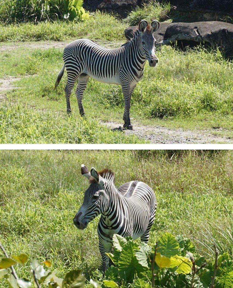 台北市立動物園預計將與京都市動物園研商從京都市動物園引進瀕危等級的「格列威斑馬」。圖/台北市立動物園提供