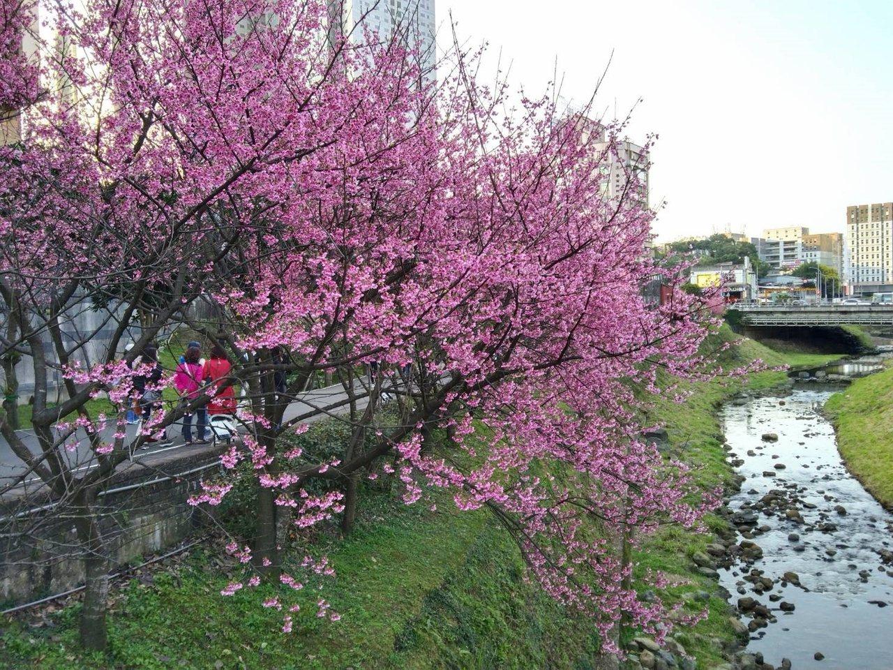 新北市汐止區康誥坑溪兩岸櫻花盛開,水岸花影非常美麗。 圖/邱瑞杰 攝影