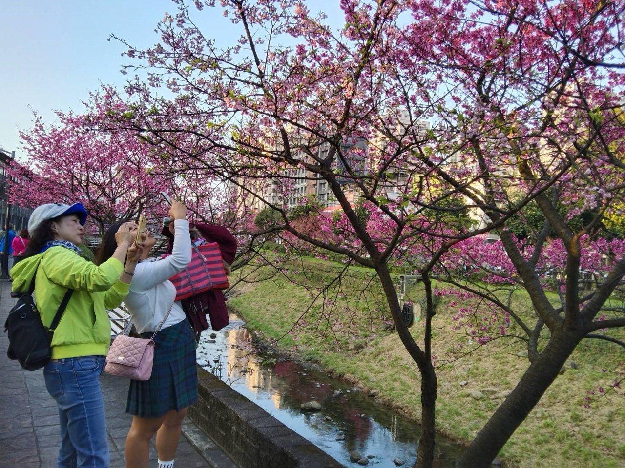 新北市汐止區康誥坑溪兩岸櫻花盛開,吸引許多遊客專程前往賞櫻、拍照和打卡。 圖/邱...