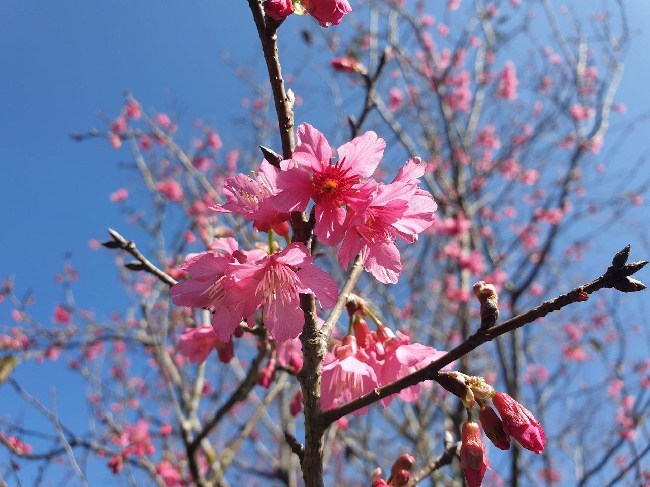 日月潭暨大櫻花季今開跑,校園已見櫻姿綻放。 圖/賴香珊 攝影