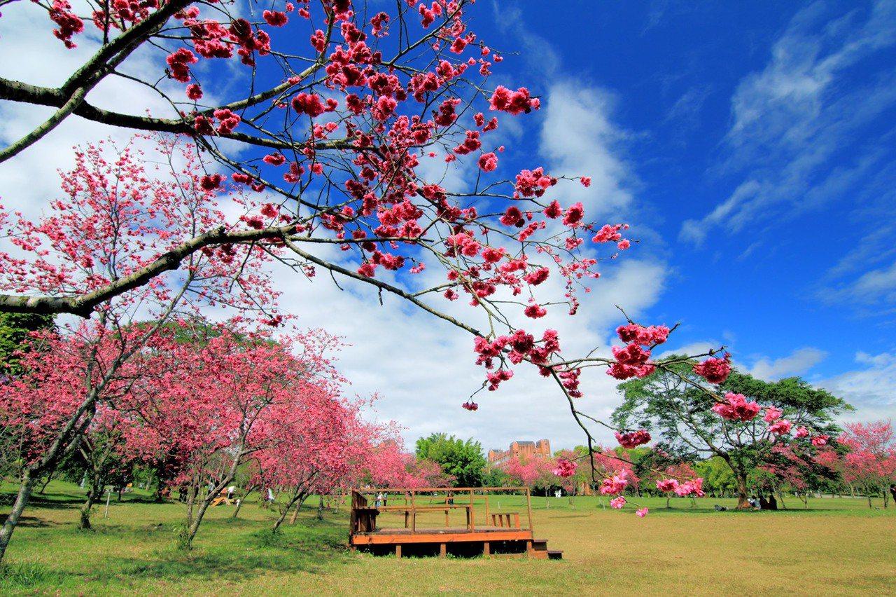 國立暨南大學亦是中部地區賞櫻重要據點,校園內上千株的櫻花,讓校園彷彿披上粉色的面...