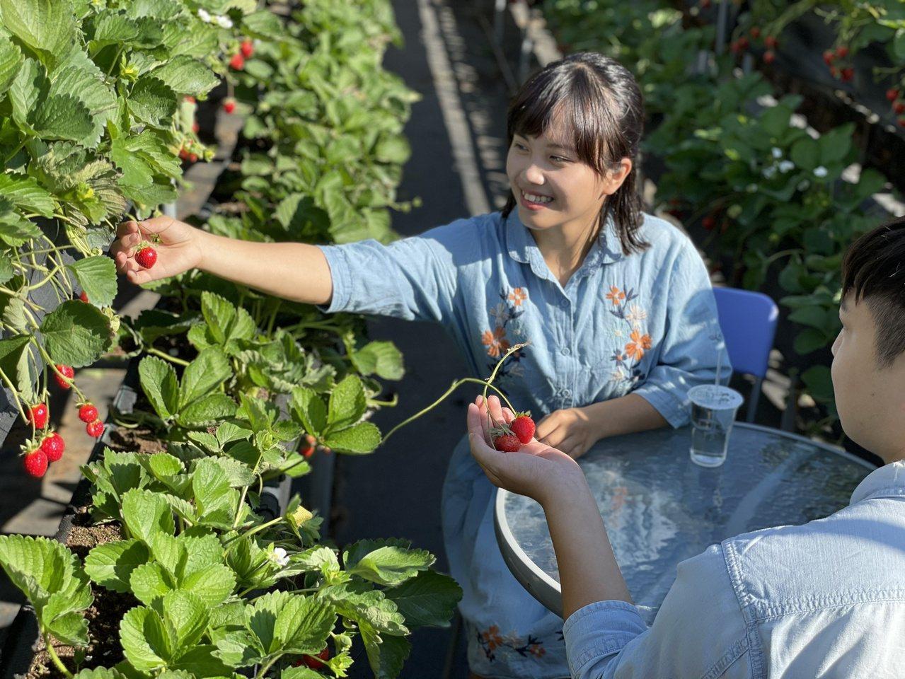 年假苗栗縣大湖採草莓夯,公路總局出「大湖採草莓攻略」供參考。 圖/本報資料照片