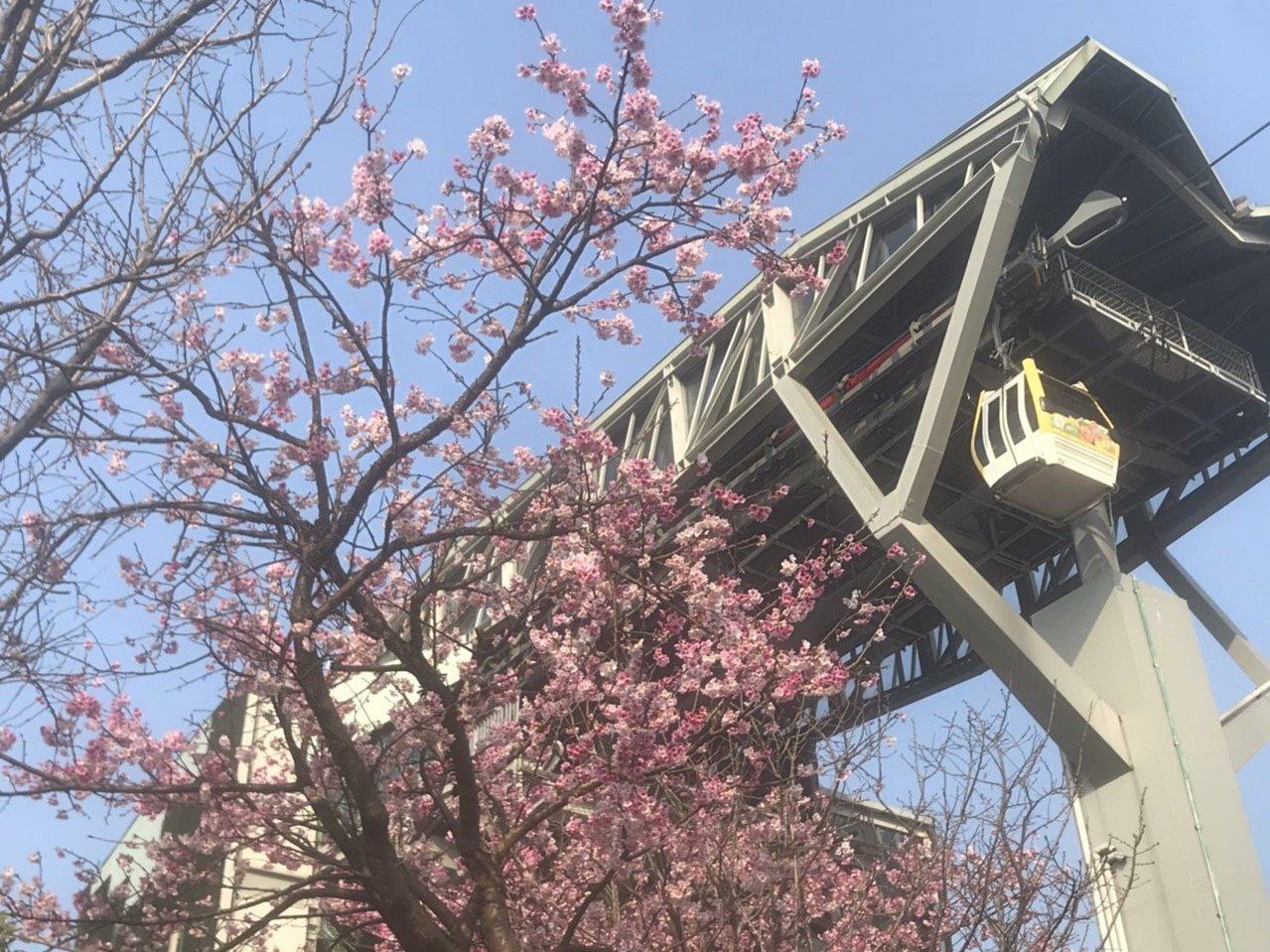 春節連假將至,民眾可搭乘貓纜前往賞櫻。 圖/北捷提供
