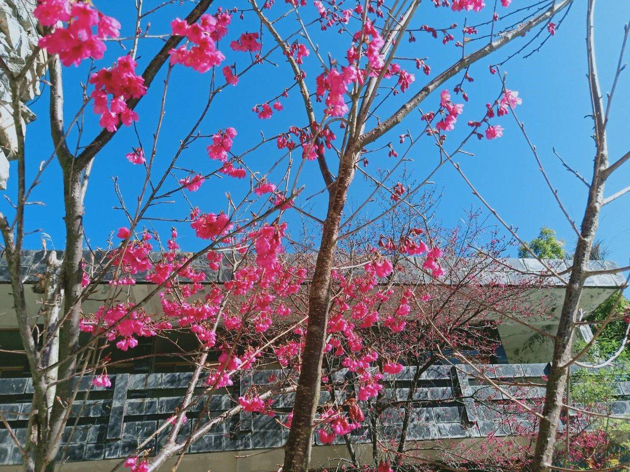 霧台櫻花季2月起浪漫來襲。 圖/劉星君 攝影