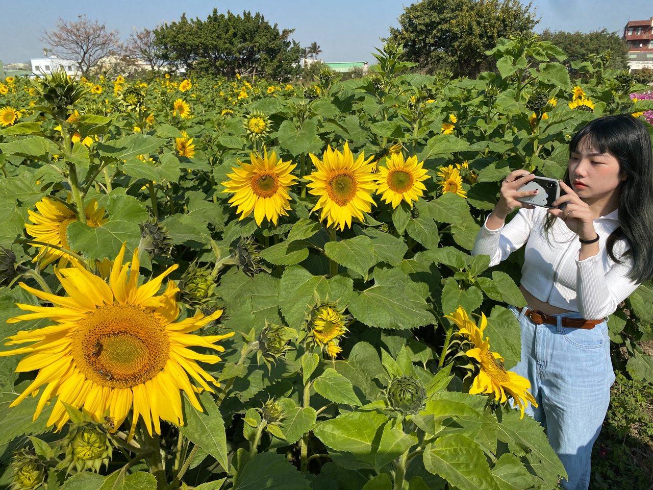 在地農友種植了近36公頃的波斯菊、向日葵等景觀作物,賞花期即日起至2月中,目前花...